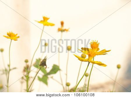 Cosmos Flower Bloom Plant Shine Sweet Colorful Sunshine Beautiful In Garden Country Background. High