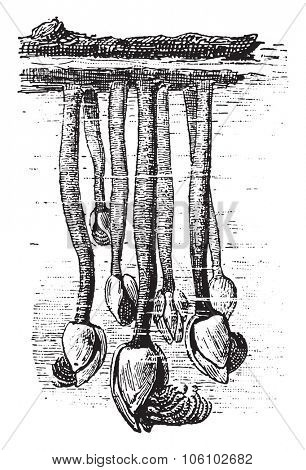 Barnacle, vintage engraved illustration. Dictionary of words and things - Larive and Fleury - 1895.
