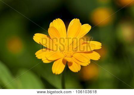 Calendula flower  close up