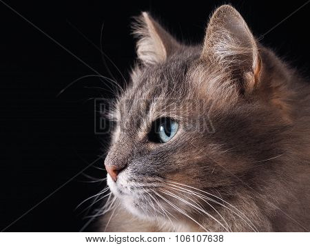 Portrait of a cat on a black background