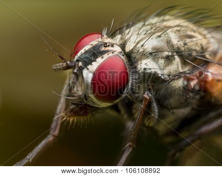 Close Up Portrait Of House Fly With Bright Red Eyes