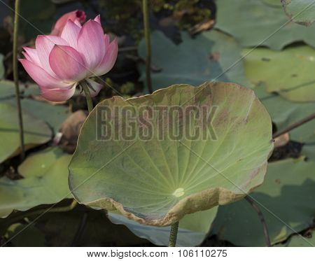 Pink Lotus Flowers Growing In Asian Lakes Flora Of The World