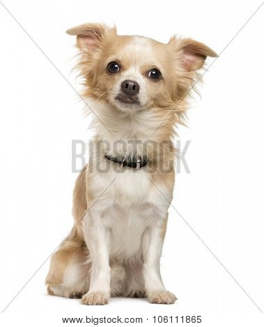 Chihuahua sitting in front of white background