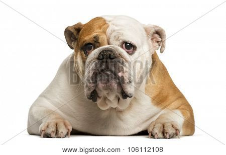 English Bulldog lying in front of white background