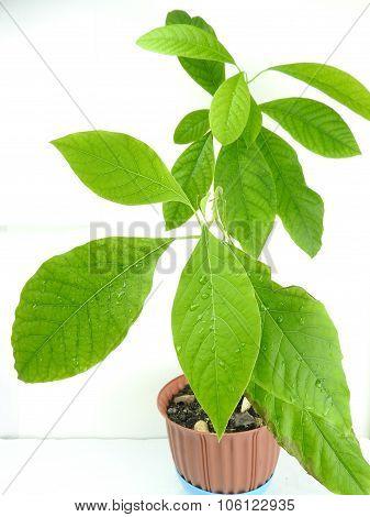 Avocado tree growing at home