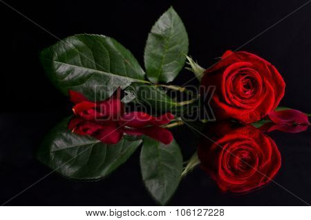 Beautiful Red Rose On Black Background.photo With Reflection