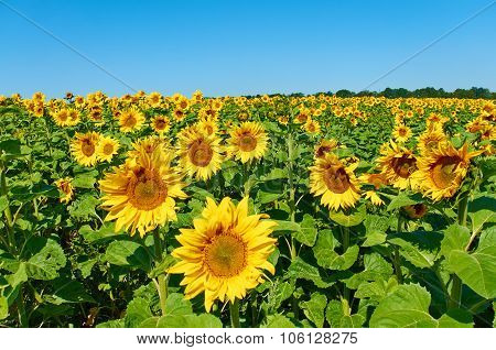 Helianthus annuus, the common sunflower, is a large annual forb of the genus Helianthus