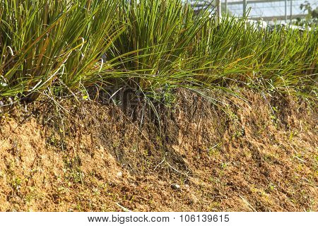 Vetiver Glass Protecting Soil Slide