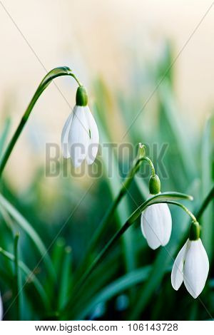 Snowdrops In The Garden
