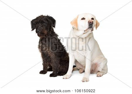 Labrador And A Black Fluffy Dog