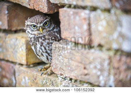 A cute Little Owl looking out from its hole in a wall