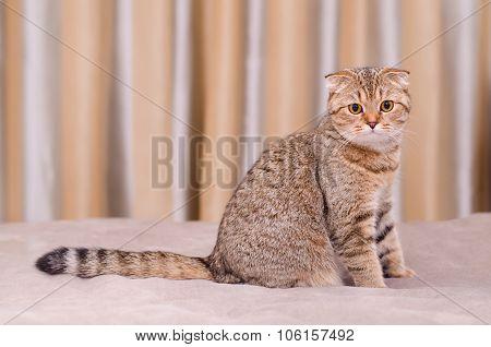 Scottish Fold Cat Tabby.