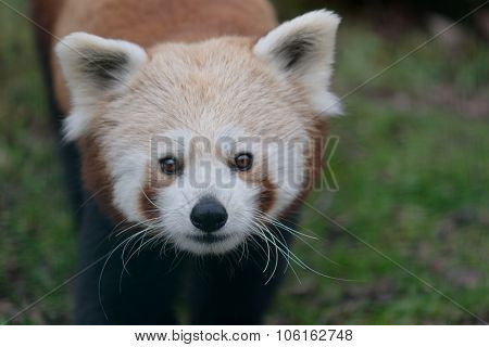 Red Panda at Zoo Veszprem