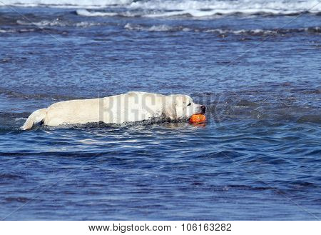 Labrador Swimming In The Sea With An Orange Toy
