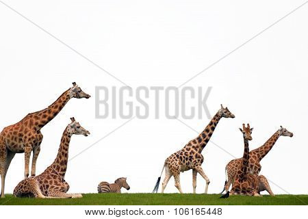 Zebra And Giraffes Resting In The Grass