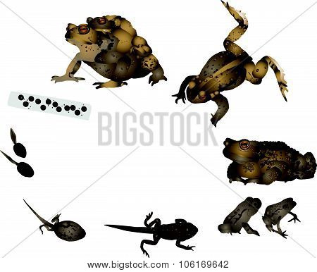 Life cycle of common toad