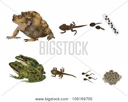 Life of frogs