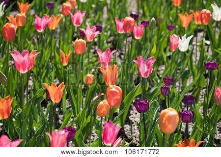 Colorful Tulips Blooming Under Bright Sun