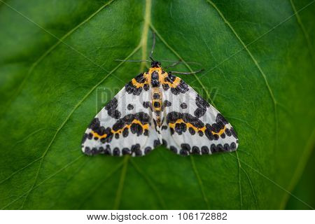 Harlekin Butterfly On A Green Leaf Background