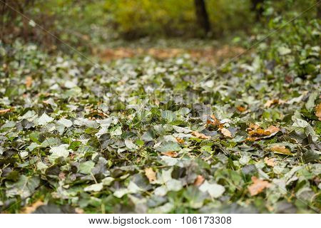 Fallen Leaves Lays On Ground.