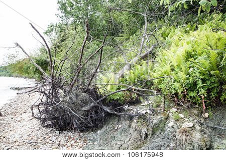 The Roots Of A Tree On The Bank