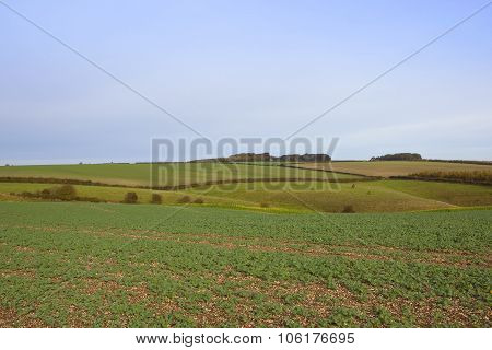 Young Canola Field With Meadows
