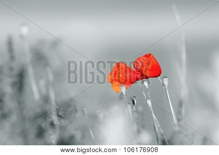 Abstract View Of Wild Poppies