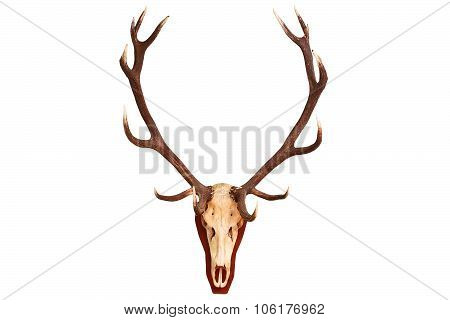 Beautiful Red Deer Stag Trophy
