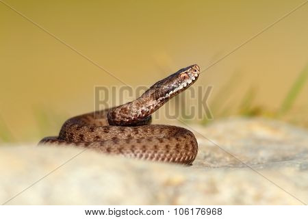 Beautiful Reptile Vipera Berus