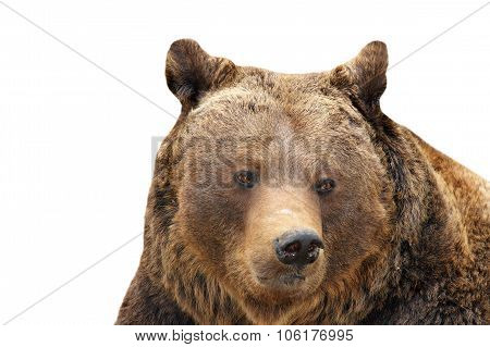 Big Brown Bear Portrait Over White