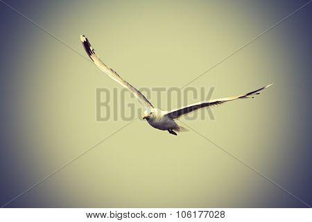 Caspian Gull Flying Towards The Camera