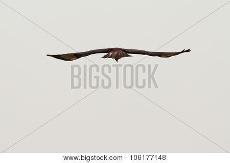Common Buzzard Hunting