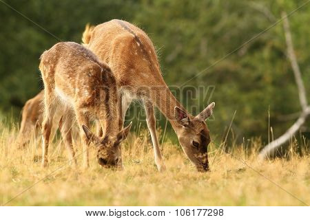 Fallow Deers Grazing In A Clearing