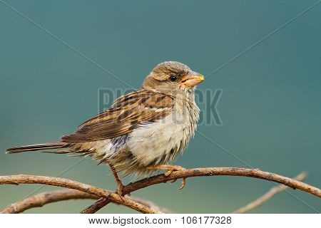 Female House Sparrow Eating Seeds