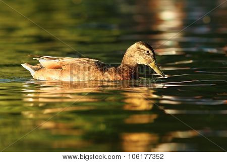 Female Mallard Duck On Pond