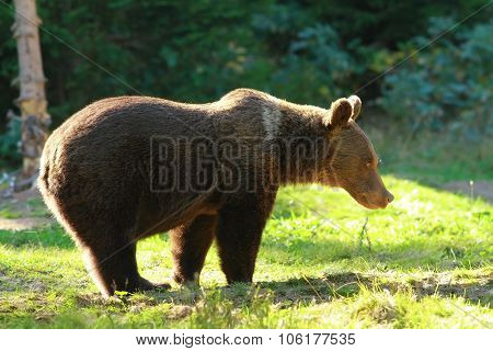 Funny Wild Bear In A Glade