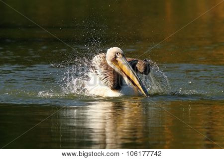 Juvenile Pelican Playing On Water