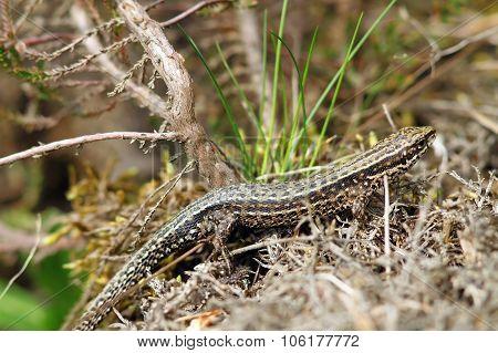 Lizard Camouflaged In Its Habitat