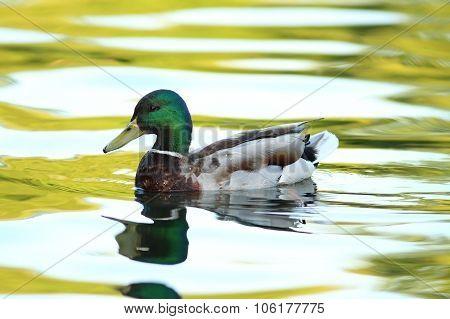 Male Mallard Duck On Pond