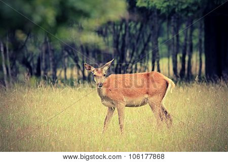 Red Deer Doe In The Forest