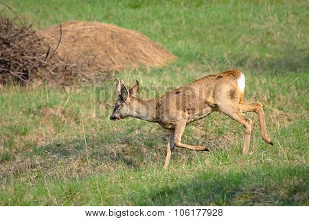 Roe Deer Buck Running In Orchard