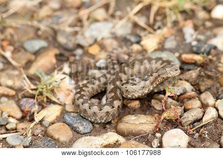 Sand Viper On Gravel