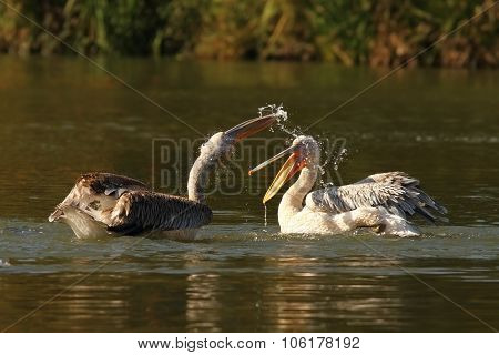 Two Juvenile Great Pelicans Splashing Each Other