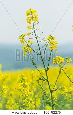 rape seed field with close up oilseed