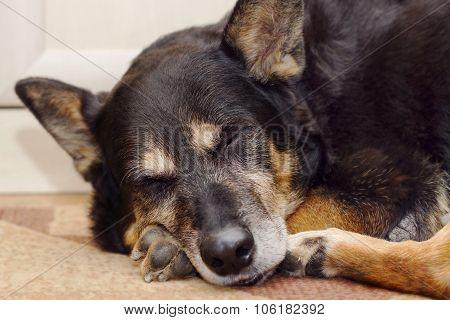 Sleeping Shepherd Dog