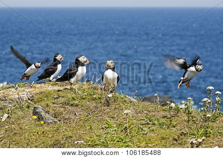 Puffin Seabirds In The North Atlantic Ocean