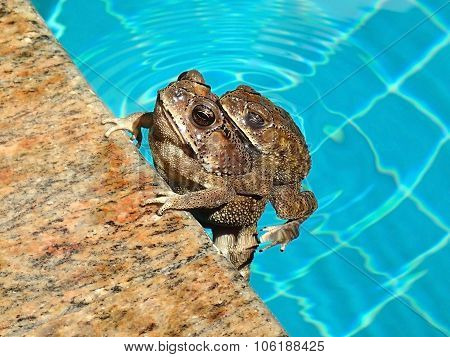 Couple of Asian common toads, bufo melanostictus