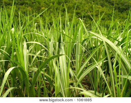 Sugar Cane Leaves