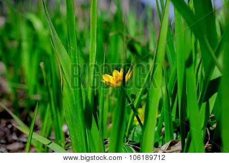 Yellow Spring Flower Hid In Green Grass