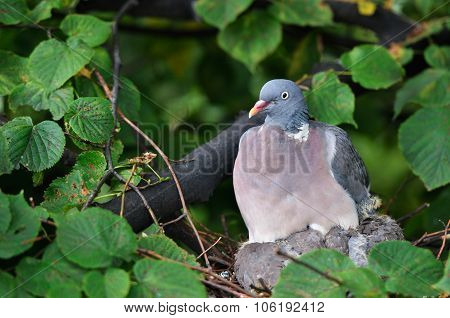 dove sitting on a nest in the forest